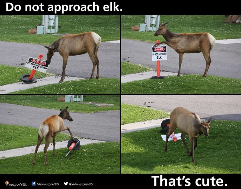Elk have quite the sense of humor accompanying their size and general dangerousness. I lifted this picture from Yellowstone National Park's Facebook page August 30.