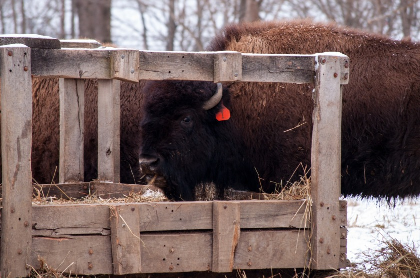 Seeing bison tagged and penned in as if they were cattle didn't exactly feel like Yellowstone, but it isn't bad for being more than 1,600 miles away.