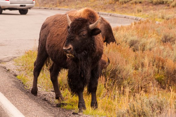 These lumbering giants gummed up traffic while we were at Yellowstone National Park.