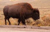 Bison blurry foot