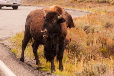 Seeing bison is almost a given at Yellowstone. But don't be that guy who walks up to them and ends up getting gored. They're still wild animals, yo.