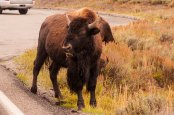 Bison chewing