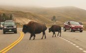 Bison crossing with baby