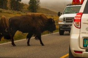 Bison crossing