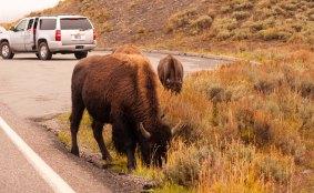 Bison eating roadside