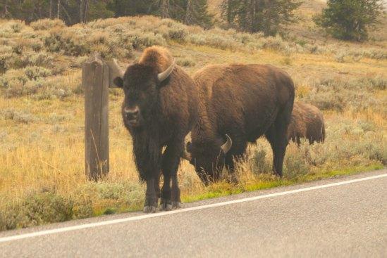 Bison glaring