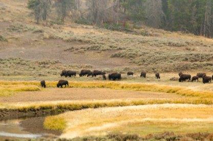 bison herd 2