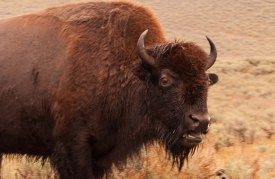 Bison mouth open