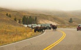 Bison traffic